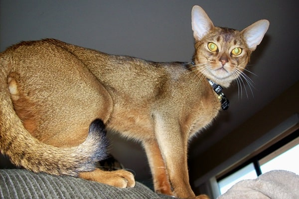 40 Super Cute Abyssinian Cats Pictures 6