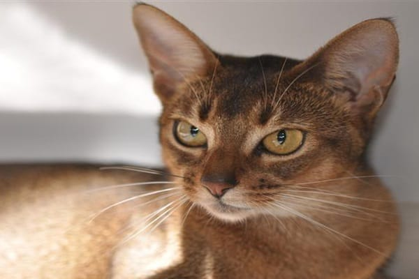 Abyssinian Cat Near Me