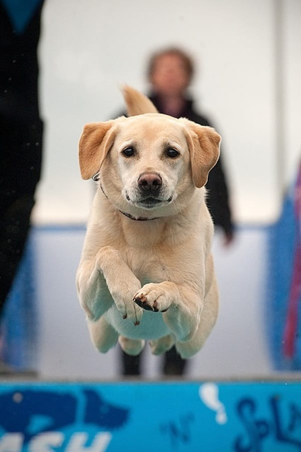 How to stop your Labrador Leaping up on Everyone 1