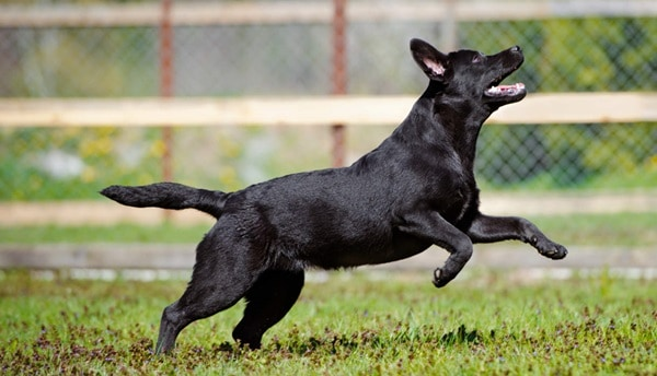 How to stop your Labrador Leaping up on Everyone 2