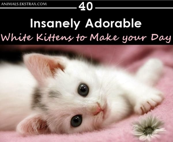 Insanely Adorable White Kittens to make your Day