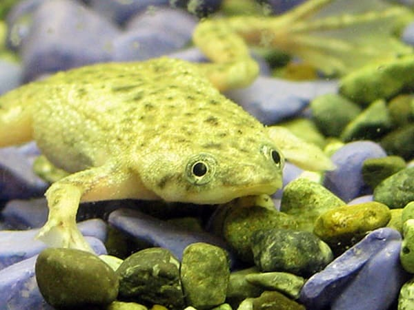 Pet Guide for American Dwarf Frog 4