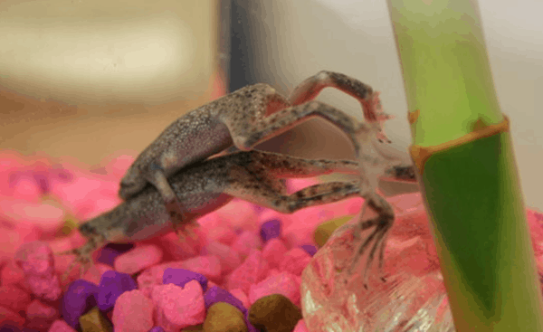 Pet Guide for American Dwarf Frog 5