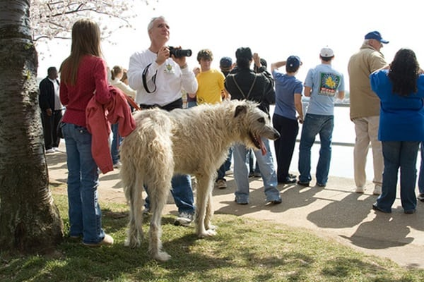 15 Biggest Dogs in the World 11