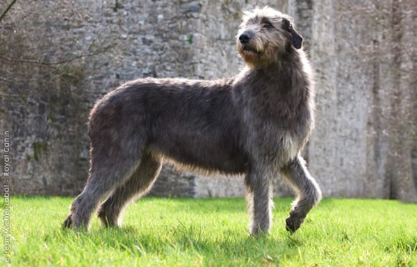 15 Biggest Dogs in the World 11b