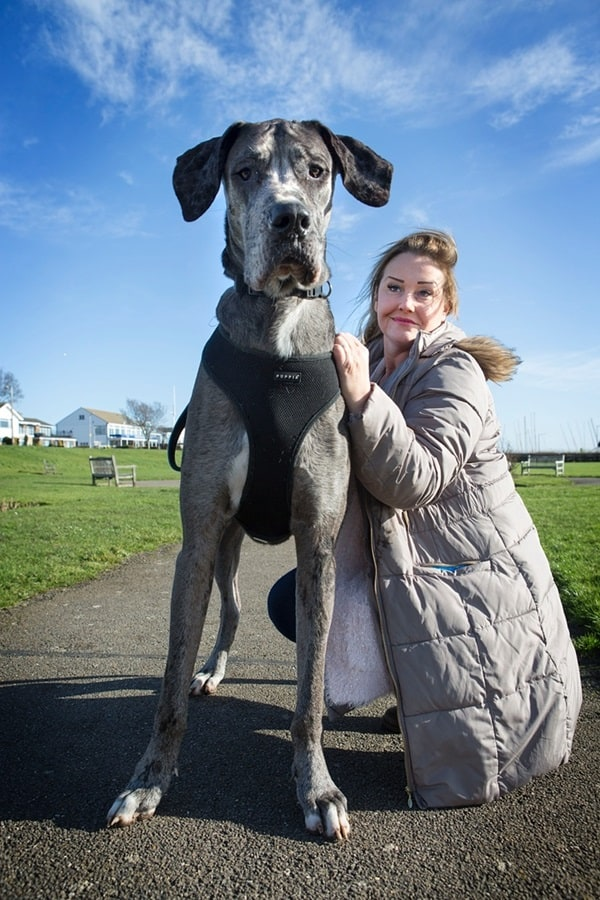 18 Biggest Dogs in the World and Their Guinness World Records - photo#5