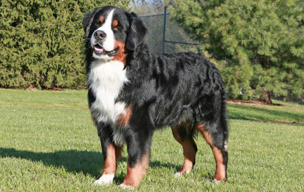 15 Biggest Dogs in the World 2a
