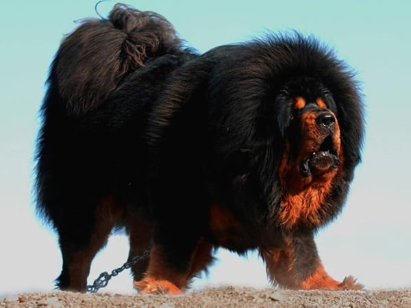 15 Biggest Dogs in the World 4a