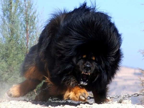 15 Biggest Dogs in the World 4b