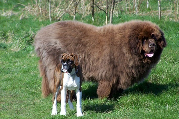 15 Biggest Dogs in the World 5