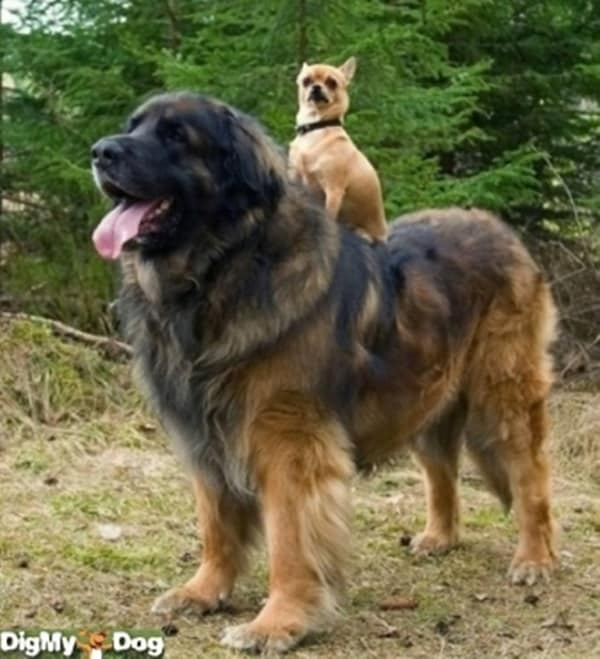 15 Biggest Dogs in the World 8