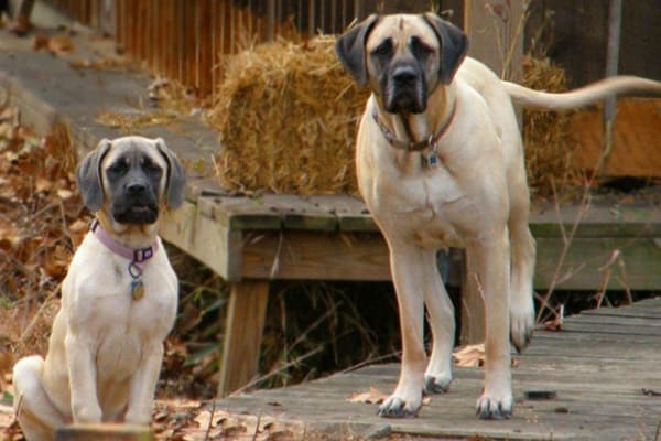 15 Types of Large Dog Breeds with Pictures 10b