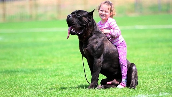 15 Types of Large Dog Breeds with Pictures 11a