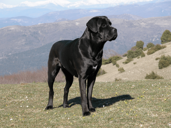 15 Types of Large Dog Breeds with Pictures 11b