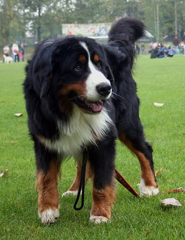 15 Types of Large Dog Breeds with Pictures 12b