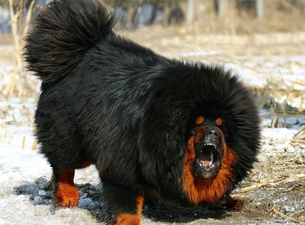 15 Types of Large Dog Breeds with Pictures 13a