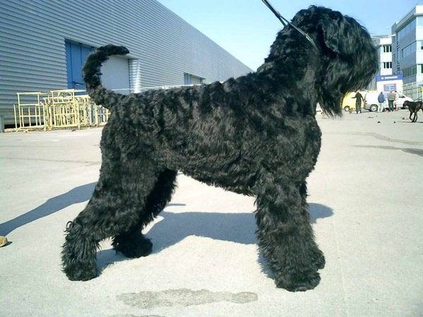 15 Types of Large Dog Breeds with Pictures 14b