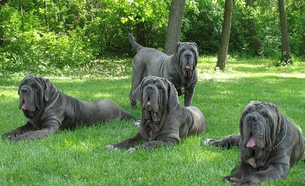 15 Types of Large Dog Breeds with Pictures 15a