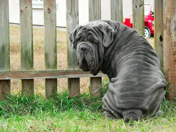 15 Types of Large Dog Breeds with Pictures 15b