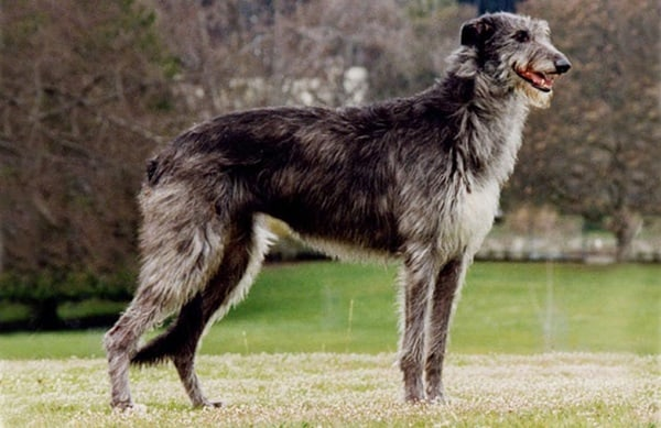15 Types of Large Dog Breeds with Pictures 1b