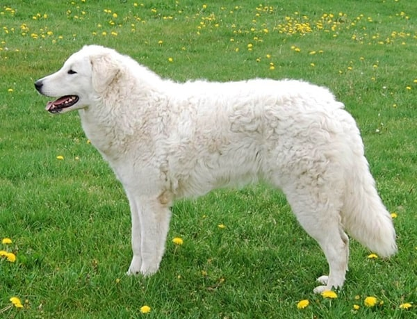 15 Types of Large Dog Breeds with Pictures 2