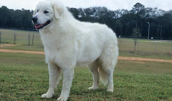 15 Types of Large Dog Breeds with Pictures 2a