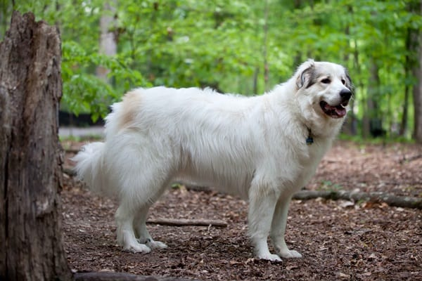 15 Types of Large Dog Breeds with Pictures 3