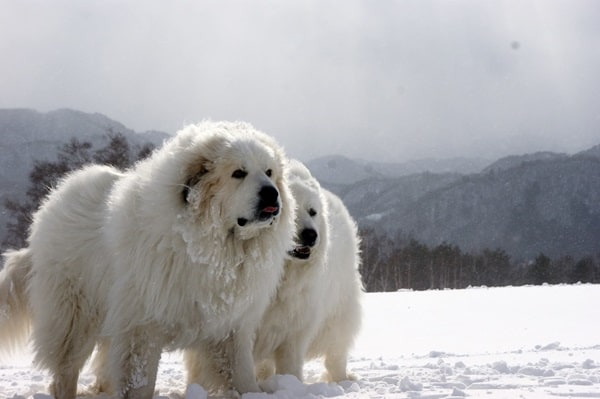 15 Types of Large Dog Breeds with Pictures 3a