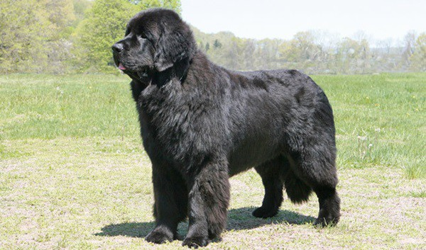15 Types of Large Dog Breeds with Pictures 5