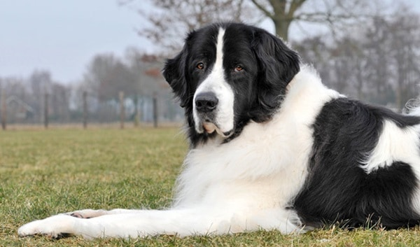 15 Types of Large Dog Breeds with Pictures 5a