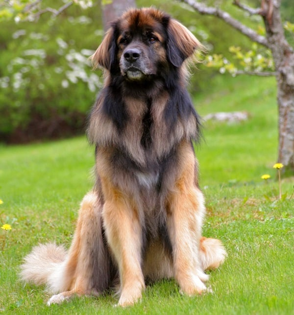 15 Types of Large Dog Breeds with Pictures 6