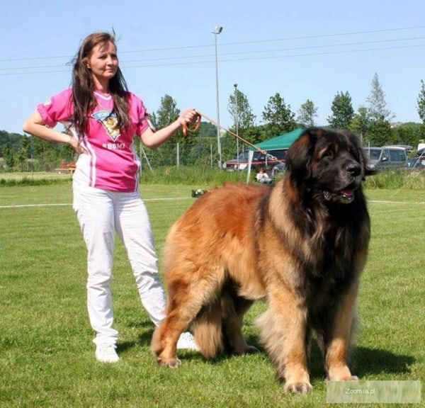 15 Types of Large Dog Breeds with Pictures 6a