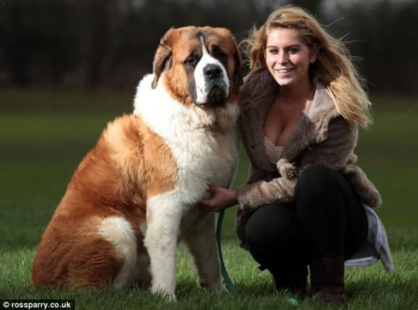 15 Types of Large Dog Breeds with Pictures 7b