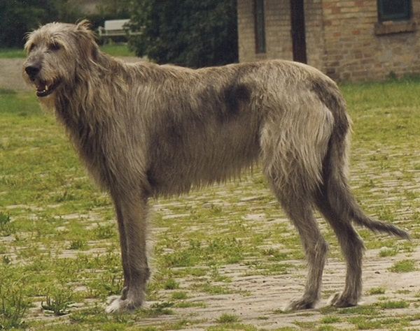 15 Types of Large Dog Breeds with Pictures 8