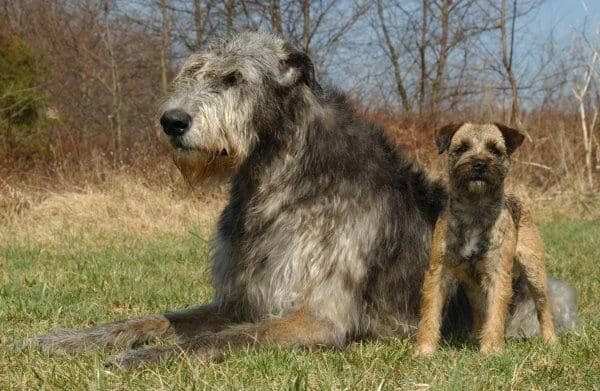 15 Types of Large Dog Breeds with Pictures 8a