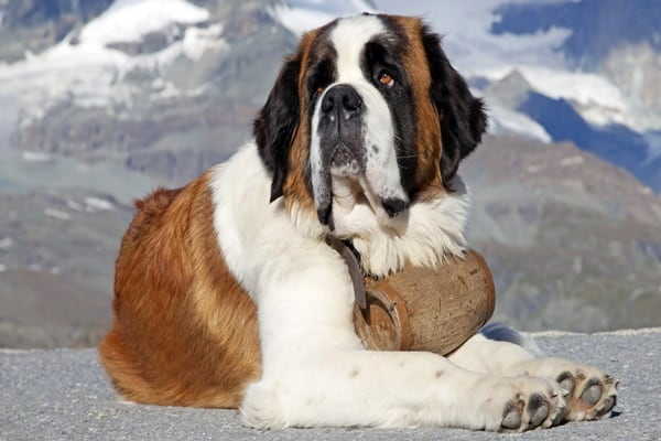 15 types of large dog breeds with pictures for Types of dogs with photos