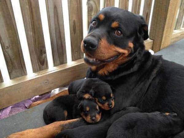 40 Big Dogs with their Small Puppies 12