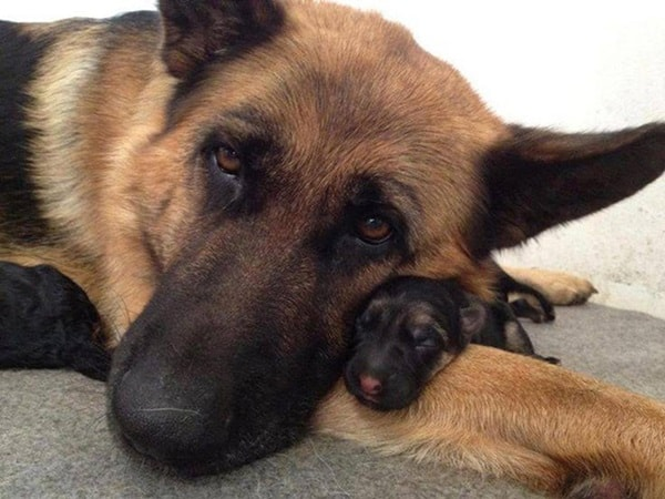 40 Big Dogs with their Small Puppies 17