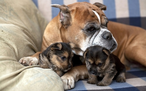 40 Big Dogs with their Small Puppies 2