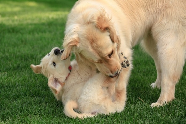 40 Big Dogs with their Small Puppies 36