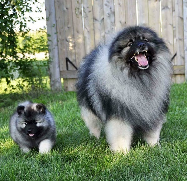 40 Big Dogs with their Small Puppies 39