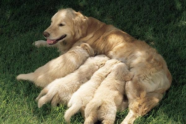 40 Big Dogs with their Small Puppies 4