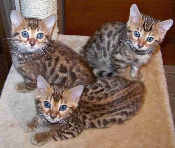 40 Impossibly Beautiful Pictures of Bengal Kittens 10