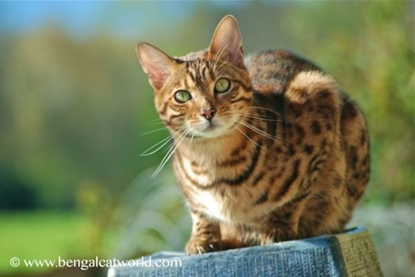 40 Impossibly Beautiful Pictures of Bengal Kittens 11