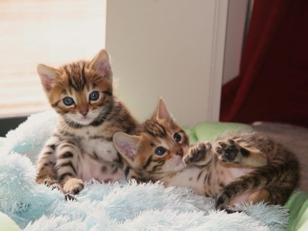 40 Impossibly Beautiful Pictures of Bengal Kittens 13