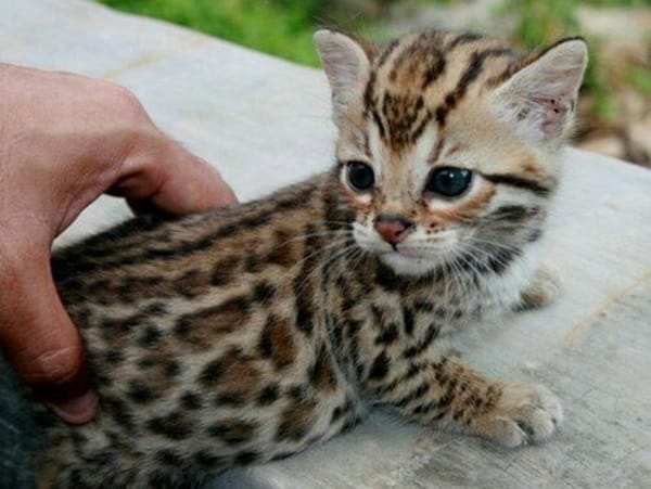 40 Impossibly Beautiful Pictures of Bengal Kittens 16