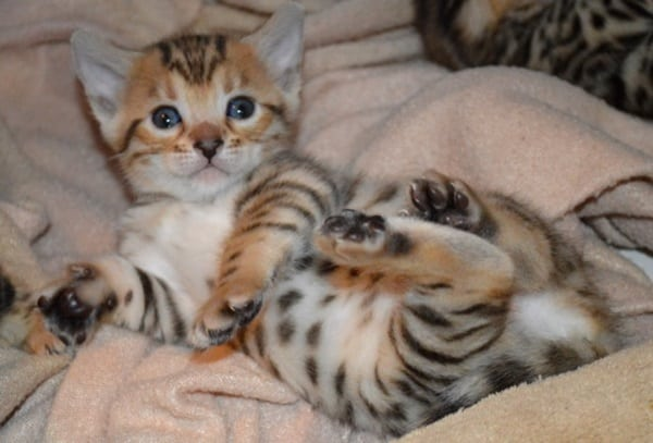 40 Impossibly Beautiful Pictures of Bengal Kittens 18