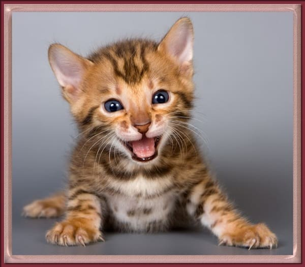 40 Impossibly Beautiful Pictures of Bengal Kittens 23