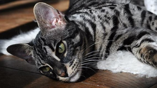 40 Impossibly Beautiful Pictures of Bengal Kittens 25
