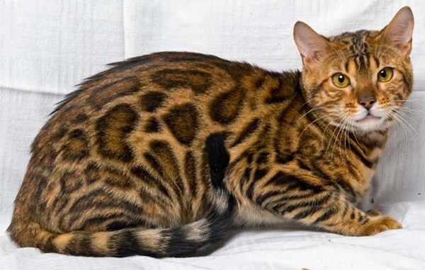 40 Impossibly Beautiful Pictures of Bengal Kittens 26